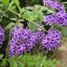 Duranta Erecta, Duranta Repens, Golden Dewdrop Shrub or Tree - 50 Seeds
