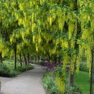 Cassia Fistula, Golden Shower Tree 500 Seeds