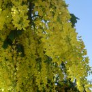 laburnum Anagyroides, Golden Chain Tree 500 Seeds, Cold Hardy