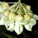 Mucuna Gigantea Seed, Rare Burny Bean Vine, Sea Bean Climber