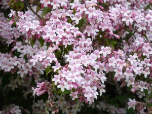 Kolkwitzia Amabilis 15 Seeds, Cold Hardy Beauty Bush