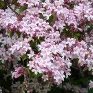 Kolkwitzia Amabilis 100 Seeds, Cold Hardy Beauty Bush