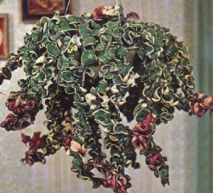 Hoya Variegated Hindu Wax Rope PLANT