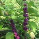 Callicarpa Dichotoma 40 Seeds, Purple Beauty Berry Shrub