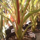 Aechmea Fosters Favorite 'Red Ribbon', Hybrid Bromeliad