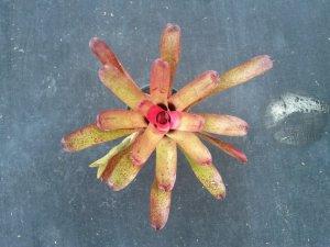 SALE! Mystery Neoregelia sp. Bromeliad #N1, Beautiful Strawberry Colors With Blue Flowers!