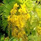 Peltophorum Pterocarpum, Beautiful Copper Pod Tree 500 Seeds