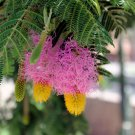 Dichrostachys Cinerea Seeds, Chinese Lantern, Sickle Bush