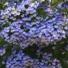 Psoralea Pinnata, Cold Hardy Kool Aid Bush or Small Tree, 8 Seeds
