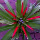 Nidularium 'Odd Ball' Cultivar Bromeliad Plant