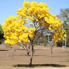Tabebuia Chrysotricha 15 Seeds, Golden Trumpet Tree