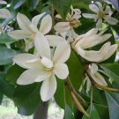 Michelia Macclurei Rare Magnolia Tree, 8 Seeds Extremely Fragrant