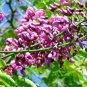 Millettia Pinnata Tree, Flowering Pongamia 10 Seeds, Biofuel Crop Of The Future!