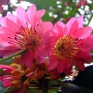 Rhodoleia Championii,  Rare And Protected Hong Kong Rose,  250+ Seeds