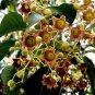 Brachychiton Populneus, Kurrajong Bottle Tree 5 Seeds
