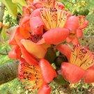 Bombax Ceiba Tree, Red Silk Cotton Kapok 20 seeds