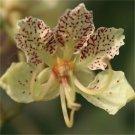 Bauhinia Semla Orchid Tree, B. Retusa, B. Roxburghiana 50 Seeds
