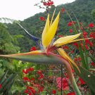 RARE Mandela's Gold Bird Of Paradise SEEDS~ Strelitzia Reginea OUTSTANDING!