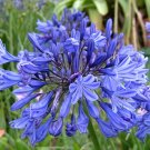 Agapanthus Inapertus, Drooping Lily of the Nile, 6 Seeds