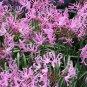 Nerine Alta, Nerine Undulata,  A South African Bulbous Perennial 5 Seeds