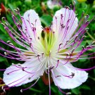 Capparis Spinosa, Caper Bush, Flinders Rose 20 Seeds