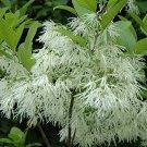Chionanthus Virginicus 10 Seeds, Hardy White Fringetree, Grancy Greybeard