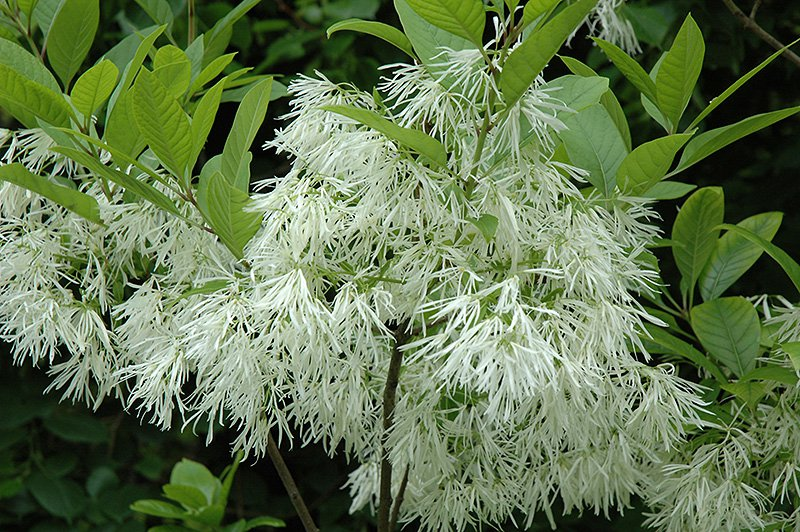 Chionanthus Virginicus 100 Seeds, Hardy White Fringetree, Grancy Greybeard
