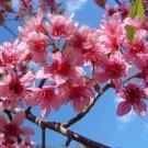 Prunus Cerasoides 20 Seeds, Wild Himalayan Cherry Tree