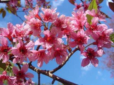Prunus Cerasoides 100 Seeds, Wild Himalayan Cherry Tree