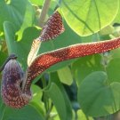 Aristolochia Ringens 10 Seeds, Gaping Dutchman's Pipe Vine, Birthwort