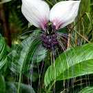 Tacca Integrifolia 10 Seeds, White Bat Flower