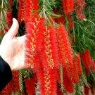 Callistemon Viminalis 1,000+ Seeds, Weeping Bottle Brush Tree