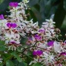 *Very Rare* Lysidice Rhodostegia Tree 5 seeds, Miriam Flower