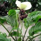 Tacca Nivea White 10 Seeds, Devil's Whiskers, White Bat Flower