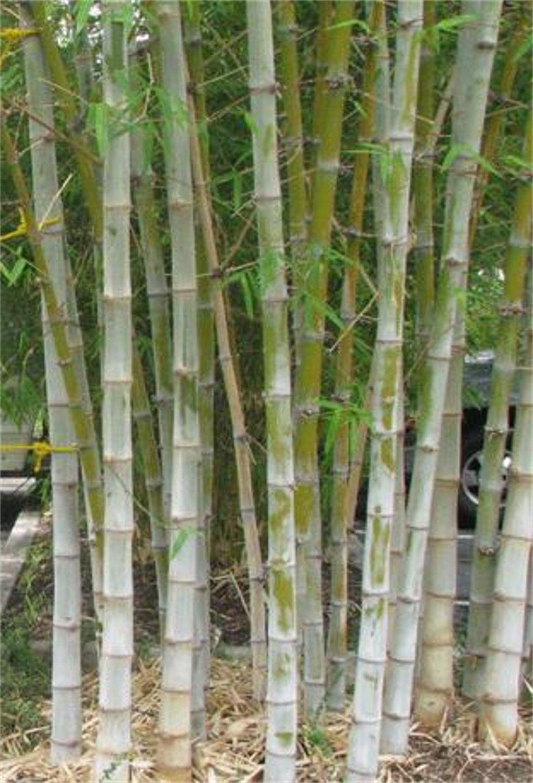 Dendrocalamus Hamiltonii 10 Seeds Tama Or Tufted Bamboo