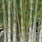 Dendrocalamus Hamiltonii 10 Seeds, Tama or Tufted Bamboo