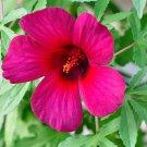 Hibiscus Radiatus 15 Seeds, Monarch Rosemallow
