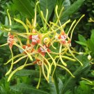 Strophanthus Speciosus 6 Seeds, Forest Poison Rope Shrub / Vine