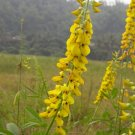 Crotalaria Pallida 50 Seeds, Smooth Rattlebox, Rattlepod