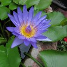 Nymphaea Nouchali 2000 Seeds, Blue Water Lily, Star Lotus