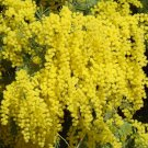 Acacia Dealbata Tree Or Shrub 100 Seeds, Silver Wattle Mimosa