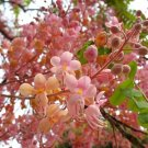 Cassia Grandis 100 seeds, Tropical Coral Shower Flowering Tree