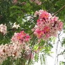 Pink & White Shower Tree, Cassia Javanica 500 Seeds, Flowering Fragrant
