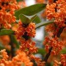 Osmanthus Fragrans Orange 5 Seeds, Very Fragrant Sweet Olive, Cold Hardy Tree Shrub
