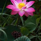 Nelumbo Nucifera, Fun Aquatic Pink Lotus 5 Seeds