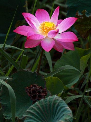 Nelumbo Nucifera, Fun Aquatic Pink Lotus 5 Seeds