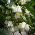 Elaeocarpus Floribundus Tree 4 Seeds, Indian Olive, Jolpai, E. tahanensis