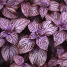 Perilla Frutescens 50 Seeds, Edible Herb Landscaping Beefsteak Plant, Shiso