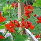 Phaseolus Coccineus 50 Seeds, Scarlet Emperor Runner Bean Non-GMO