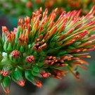 Acrocarpus Fraxinifolius 20 Tree Seeds, Pink Cedar